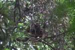 Young orangutan in Gunung Palung [kalbar_0699]