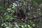 Young orangutan in Gunung Palung [kalbar_0700]