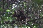 Young orangutan in Gunung Palung [kalbar_0701]