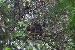 Young orangutan in Gunung Palung [kalbar_0702]