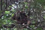 Young orangutan in Gunung Palung [kalbar_0703]
