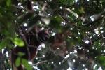 Young orangutan in Gunung Palung [kalbar_0704]