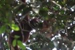 Young orangutan in Gunung Palung