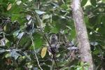 Long-tailed macaque [kalbar_0713]