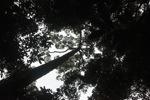 Canopy tree [kalbar_0725]