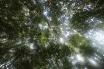 Orangutan nest in the rainforest canopy