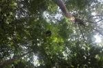 Orangutan nest in Borneo