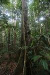 Rainforest in Indonesian Borneo [kalbar_0738]