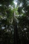 Rainforest in Indonesian Borneo [kalbar_0739]