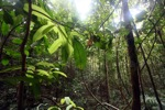 Rainforest in Indonesian Borneo [kalbar_0752]