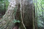 Buttress roots in the rainforest