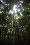 View of the Borneo rainforest canopy [kalbar_0861]
