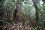 Buttress roots in the rainforest [kalbar_0751]