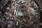 Fish-eye view of a cluster of fruit on the forest floor
