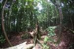 Cut rainforest tree