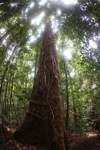Giant rainforest tree in Borneo