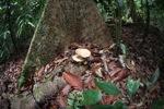 Rainforest fungi [kalbar_1377]