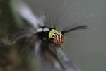 Red, yellow, black, and white caterpillar [kalbar_0920]