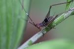 Striped katydid [kalbar_2191]