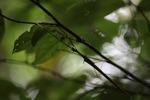 Walking stick insect [kalbar_1574]