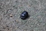 Dung beetle [kalbar_1662]