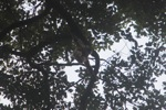 Gibbon hanging in the canopy