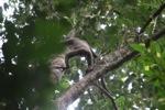 Bornean white-bearded gibbon [kalbar_0972]