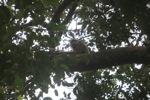 Bornean white-bearded gibbon [kalbar_0977]