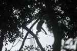 Bornean white-bearded gibbon [kalbar_0979]