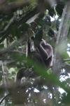 Bornean white-bearded gibbon [kalbar_0980]