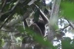 Bornean white-bearded gibbon [kalbar_0985]
