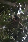 Bornean white-bearded gibbon [kalbar_0986]