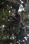 Bornean white-bearded gibbon [kalbar_0988]