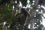 Bornean white-bearded gibbon [kalbar_0991]