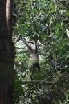 Bornean white-bearded gibbon [kalbar_0995]