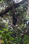 Bornean white-bearded gibbon [kalbar_0996]