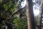 Bornean white-bearded gibbon [kalbar_1000]