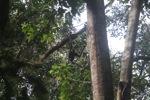Bornean white-bearded gibbon [kalbar_1001]