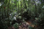 Rainforest in West Kalimantan [kalbar_1012]