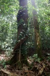 Rainforest in West Kalimantan [kalbar_1023]