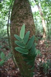 Rainforest vine