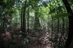 Rainforest in West Kalimantan [kalbar_1037]