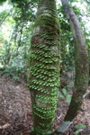 Vines wrapped around the trunk of a rainforest tree