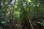 Rainforest in West Kalimantan [kalbar_1086]
