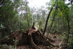 Felled rainforest tree [kalbar_1089]