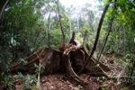 Rainforest in West Kalimantan [kalbar_1091]