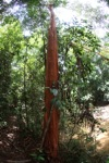 Tree with a red trunk in Borneo [kalbar_1095]