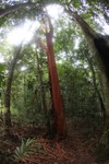 Tree with a red trunk in Borneo