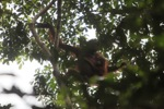 Mother orangutan with baby surrounded by illegal logging