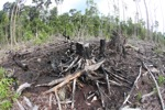 Charred remains of a rainforest in Borneo